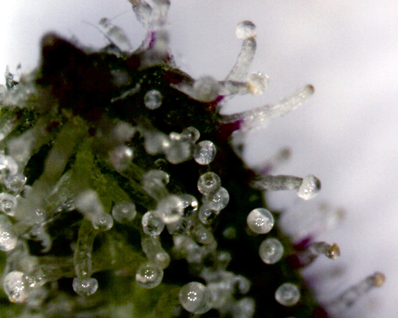 Trichomes on a Cannabis Sativa Flower Key & Peele   Obama Smoking Weed During College