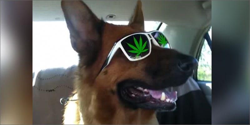Marijuana falls from the sky