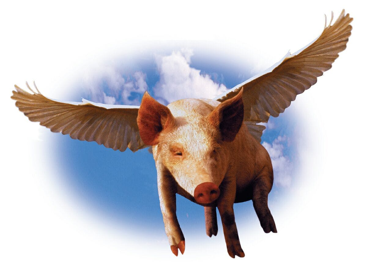 Pig gets high
