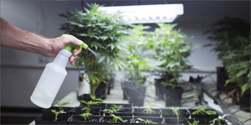 Marijuana and pesticides