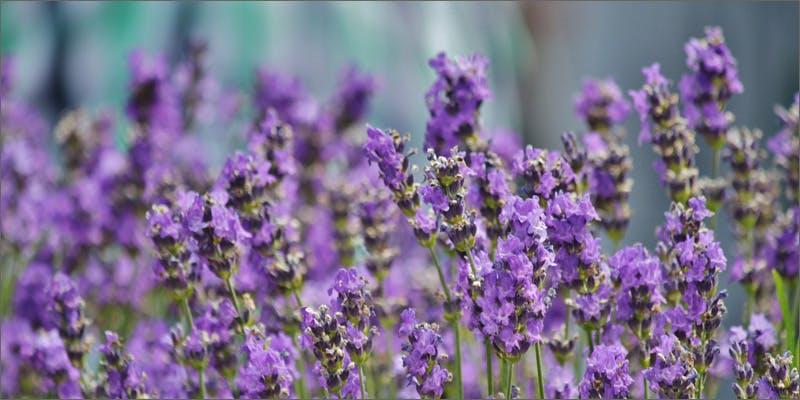 terpenes lavendar Marijuana And Modern Day Religion. Is It A Sin?
