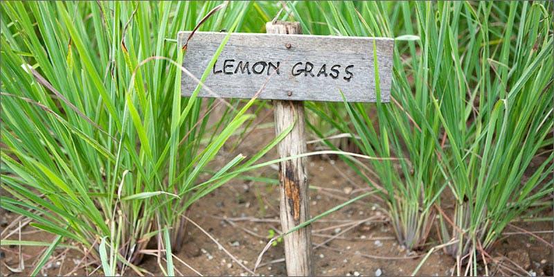 terpenes lemon grass Marijuana And Modern Day Religion. Is It A Sin?