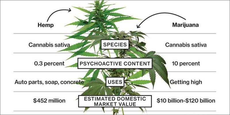 hemp plant Success: Judge Approves Dying Woman Access To Medical Marijuana