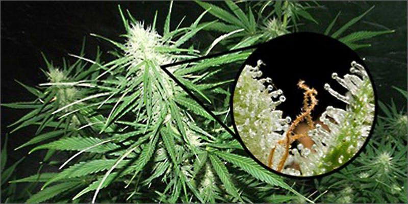 potbiotics trichomes Success: Judge Approves Dying Woman Access To Medical Marijuana