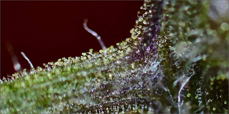 trichomes power Success: Judge Approves Dying Woman Access To Medical Marijuana