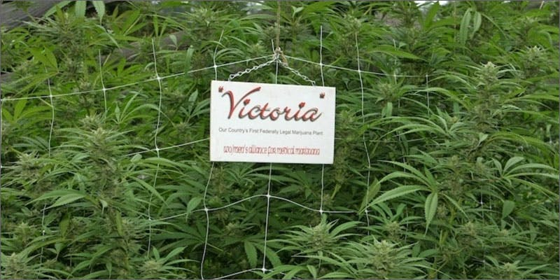 au med vic weed Could Weed Be In Liquor Stores Soon?