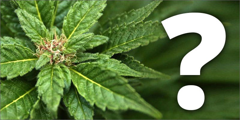 marijuana being blamed