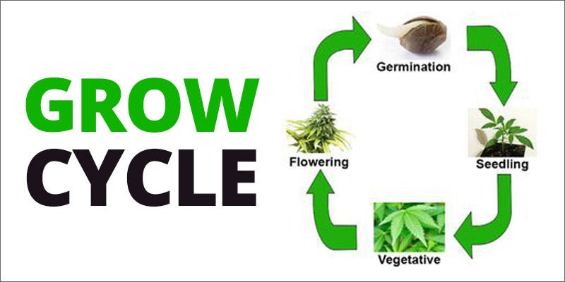 grow p2 cycle Could Weed Be In Liquor Stores Soon?