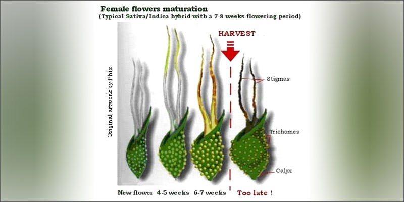 grow p2 maturation Could Weed Be In Liquor Stores Soon?