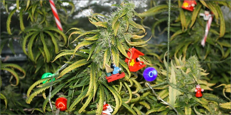 strains for holiday season