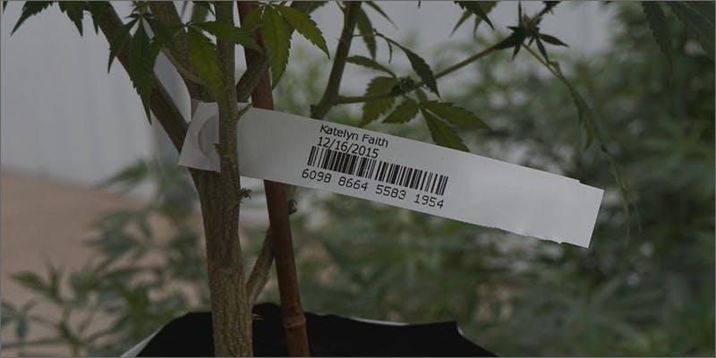 new cbd strain New Medical Marijuana Strain Is 34 x Stronger Than Typical Strains