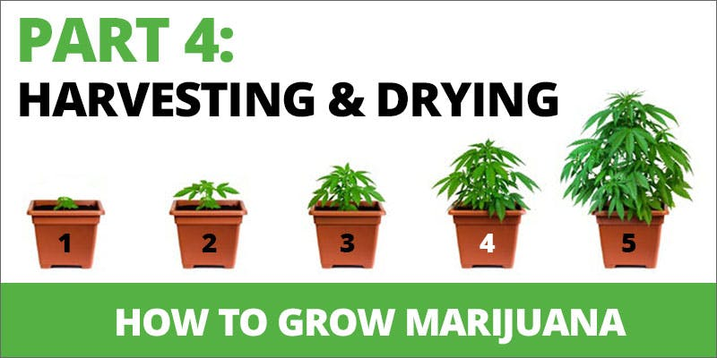 How to Grow marijuana harvesting and drying