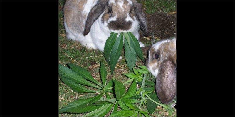 3 rabbits important cancerpatients rabbits eating Snoop Roasts Donald Trump