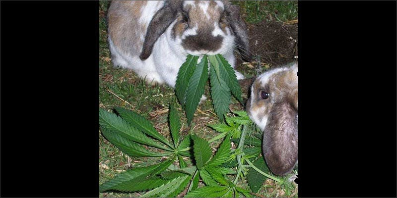 3 rabbits important cancerpatients rabbits eating Chevy Chase and Bill Murrays Marijuana Mission