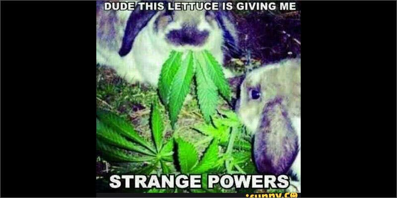 6 rabbits important cancerpatients rabbits eating meme Chevy Chase and Bill Murrays Marijuana Mission
