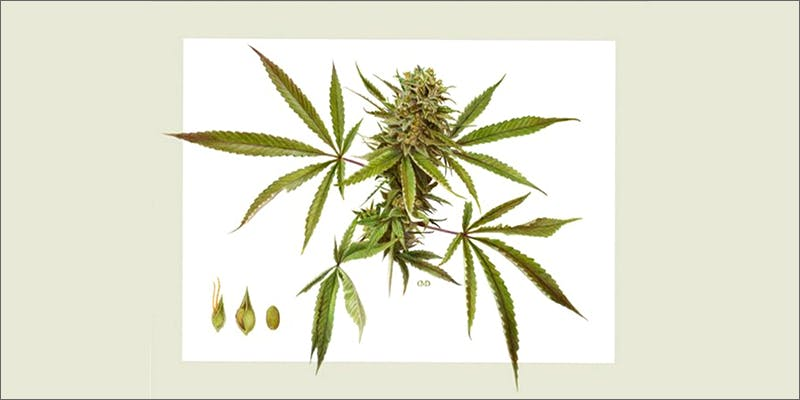 inflammation 10 Ancient Uses for Medicial Cannabis