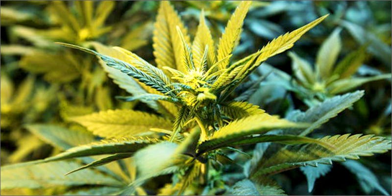 plant Chevy Chase and Bill Murrays Marijuana Mission
