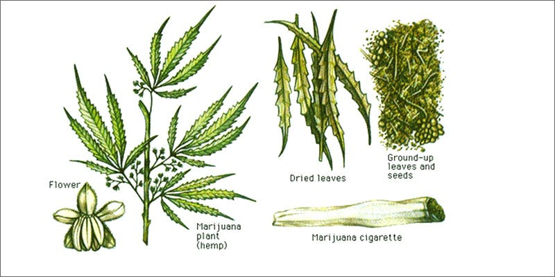 worms 10 Ancient Uses for Medicial Cannabis
