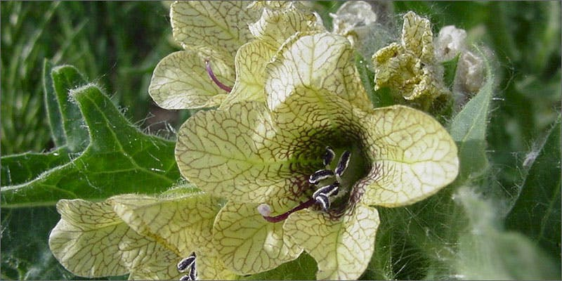 2 ancestors henbane These People Cried When High And The Reasons Are Hilarious