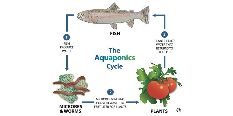 2 aquaponics cycle You Need To See How Fish Help Grow Better Weed