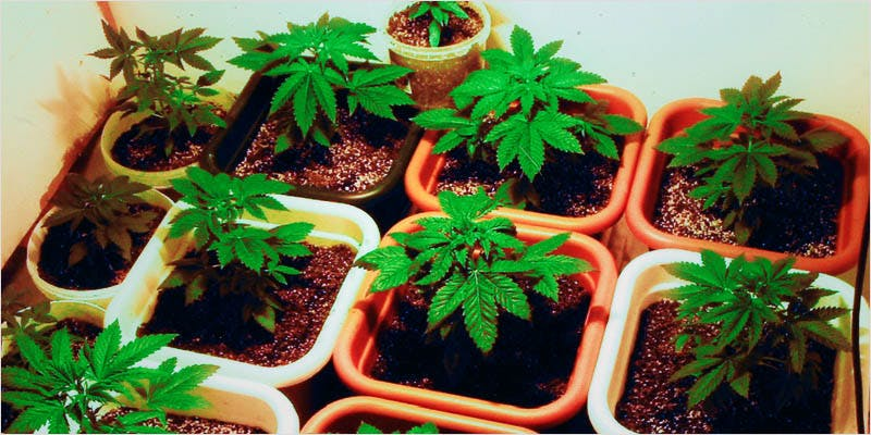 Seeds 101 How To Germinate 2 11 Best Clear Headed Sativa Strains To Help You Concentrate