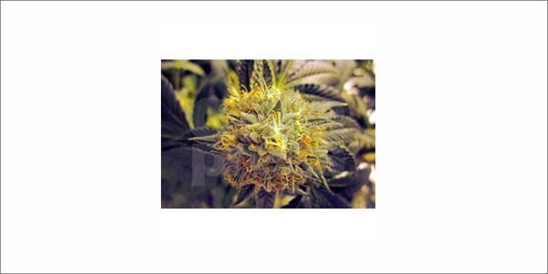 cannabis pillows 5 Marijuana And Pregnancy #2: Does Marijuana Have An Impact On Fertility?