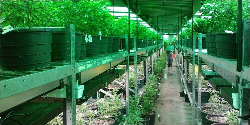 flowering tips warehouse Restalk: Recycling Cannabis Waste Into Tree Free Paper Products