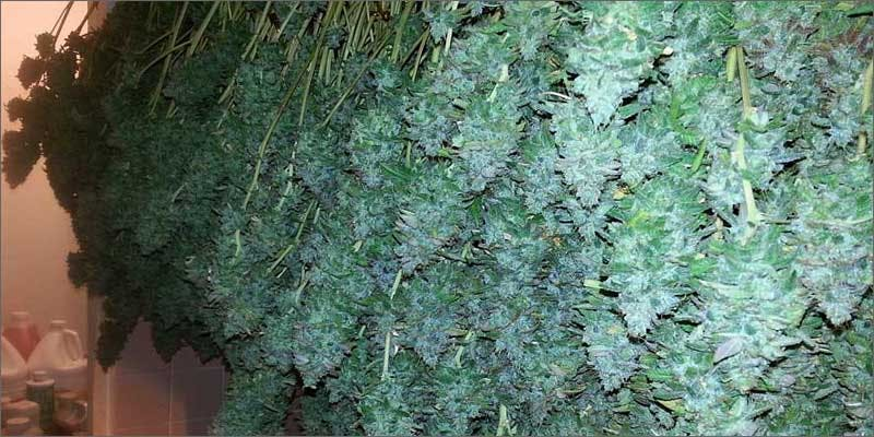 growers guide curing buds Restalk: Recycling Cannabis Waste Into Tree Free Paper Products