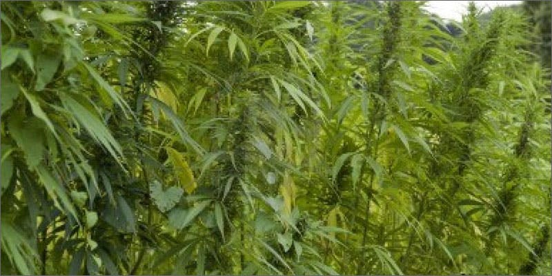 hawaii hemp plants Restalk: Recycling Cannabis Waste Into Tree Free Paper Products