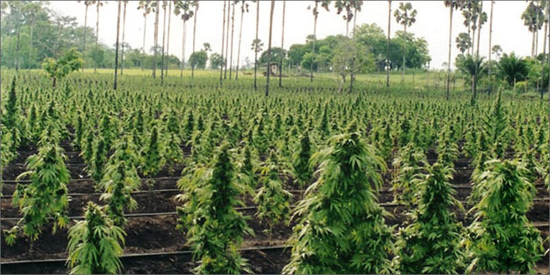 illegal mj wa field Why Illegal Marijuana Production Plummeted In This State