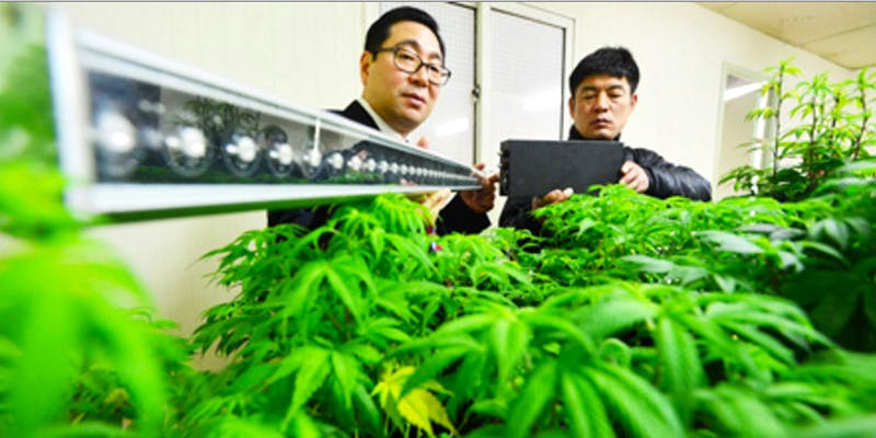 north korea Restalk: Recycling Cannabis Waste Into Tree Free Paper Products