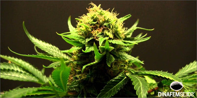 terpene juice plant Terp Juice: Do You Know About Marijuana's Most Potent Concentrate?