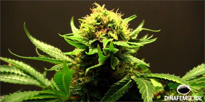 terpene juice plant Marijuana And Pregnancy #2: Does Marijuana Have An Impact On Fertility?