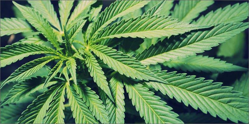 95 yearold woman smoking cannabis plant Minnesota Adds PTSD To Medical Cannabis Conditions