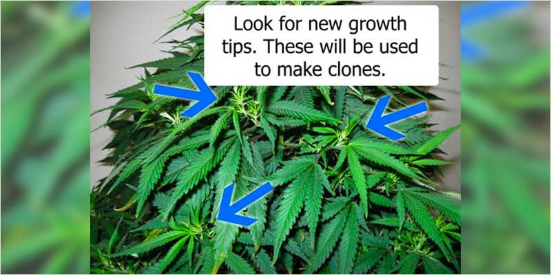 Clones 101 home 2 How Legalizing Cannabis In Europe Could Help Stamp Out Terrorism