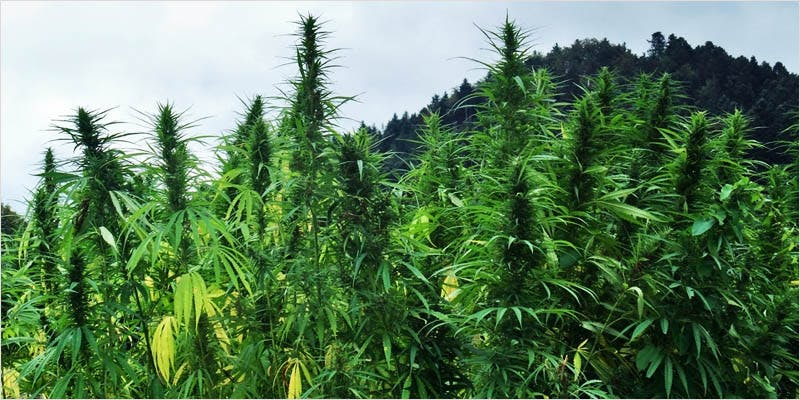 High Science Yeast 3 How Legalizing Cannabis In Europe Could Help Stamp Out Terrorism
