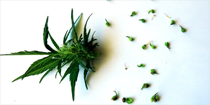 Seeds 101 Sexing Your Sprouts 1 Heres 10 Epic Cannabis Moments Throughout History