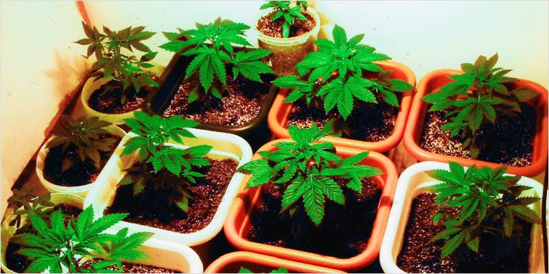 Seeds 101 Sexing Your Sprouts 2 Heres 10 Epic Cannabis Moments Throughout History