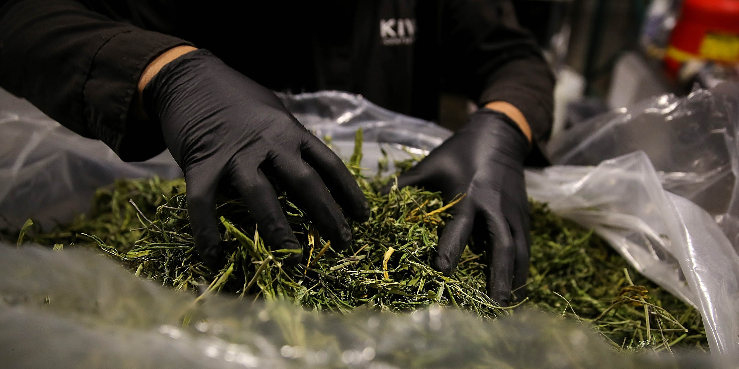 A worker looks through a bag of marijuana that will be used to make marijuana infused chocolate edibles at Kiva Confections. To make your own infused edibles you'll have to know how to decarb weed.