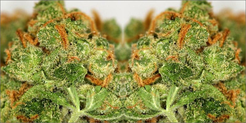netflix chill close up bud Heres 10 Epic Cannabis Moments Throughout History