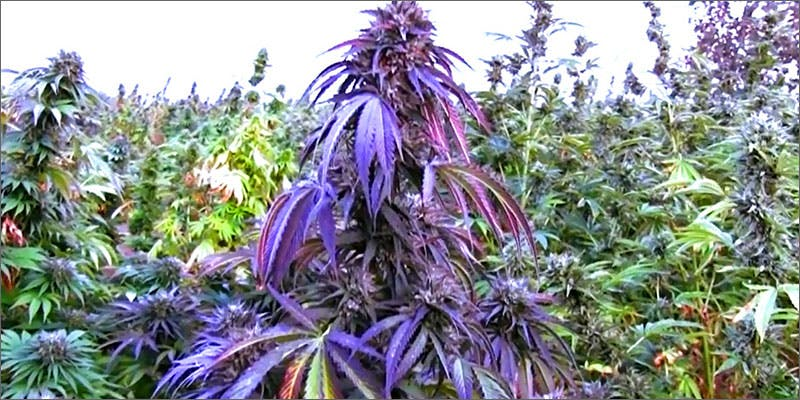 purple2 Heres 10 Epic Cannabis Moments Throughout History