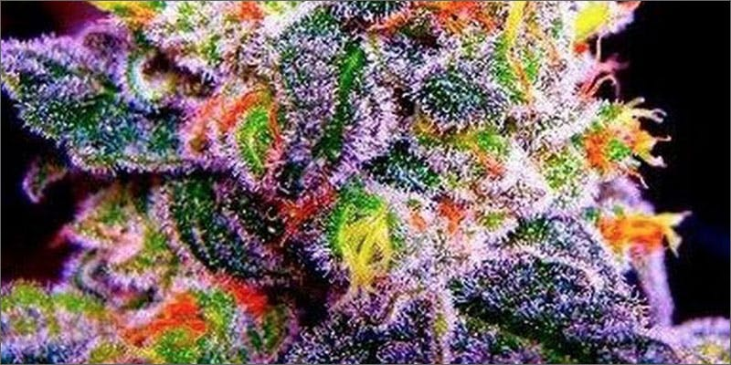 2 wine weed pairing fruity pebbles You Need To Read Gooeys New Book About Medical Cannabis