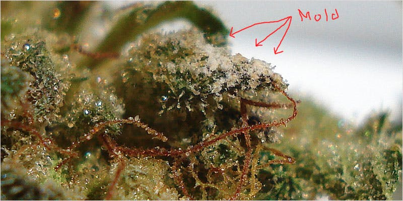 Moldy Weed 2 You Need To Read Gooeys New Book About Medical Cannabis