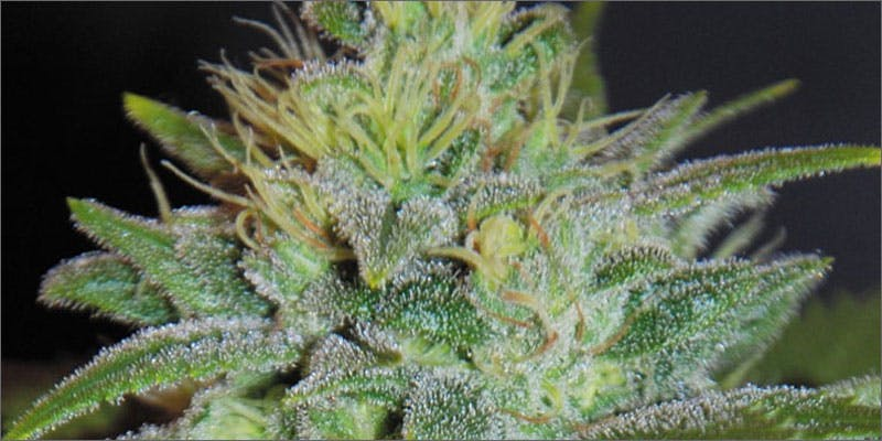 10 scrumptious strains sweet black angel Getting Weed In Jamaica Is Now Easy As Renting A Car