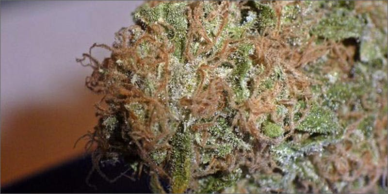 8 scrumptious strains sugar black rose Getting Weed In Jamaica Is Now Easy As Renting A Car
