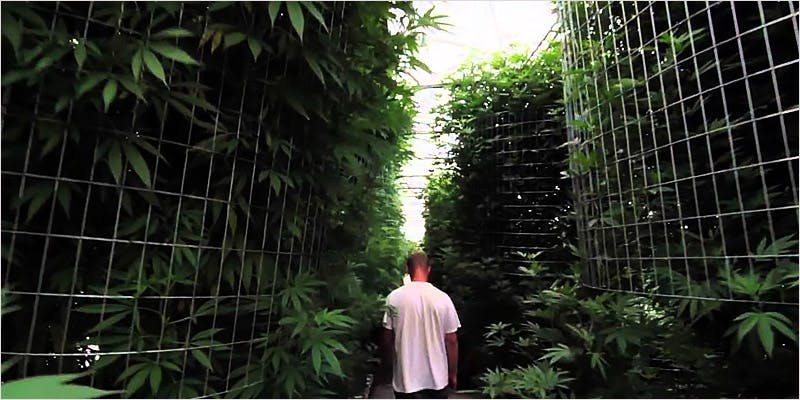 Greenhouse Grows are Awesome 1 Getting Weed In Jamaica Is Now Easy As Renting A Car