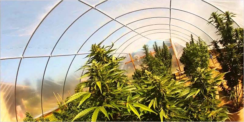 Greenhouse Grows are Awesome 11 Getting Weed In Jamaica Is Now Easy As Renting A Car
