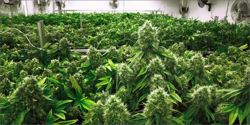 celeb flavored cannabis plant grow room All In The Mind #5: Cannabis And Bipolar Disorder