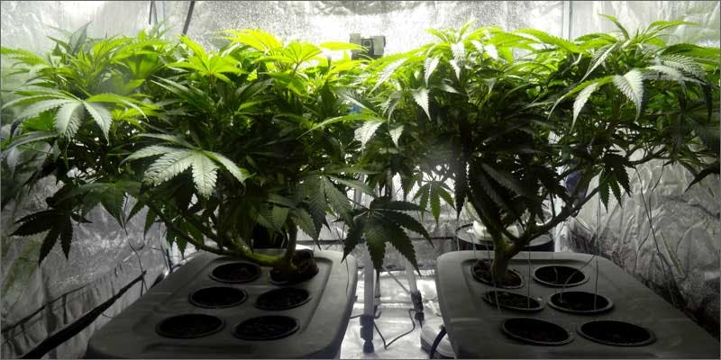 Cop Busted Growing Weed