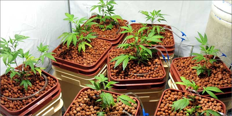 ways cannabis can make you smarter growing plants A Touch Of Glass #25: Ladys Choice